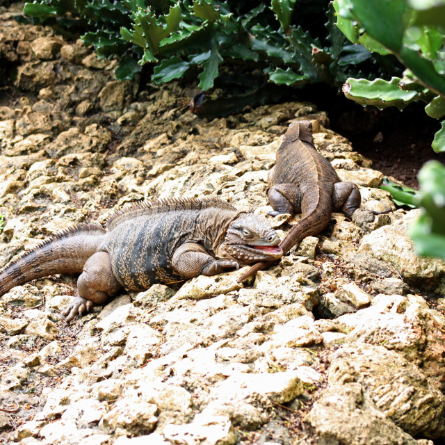 """""""Two reptiles."""" stock image"""