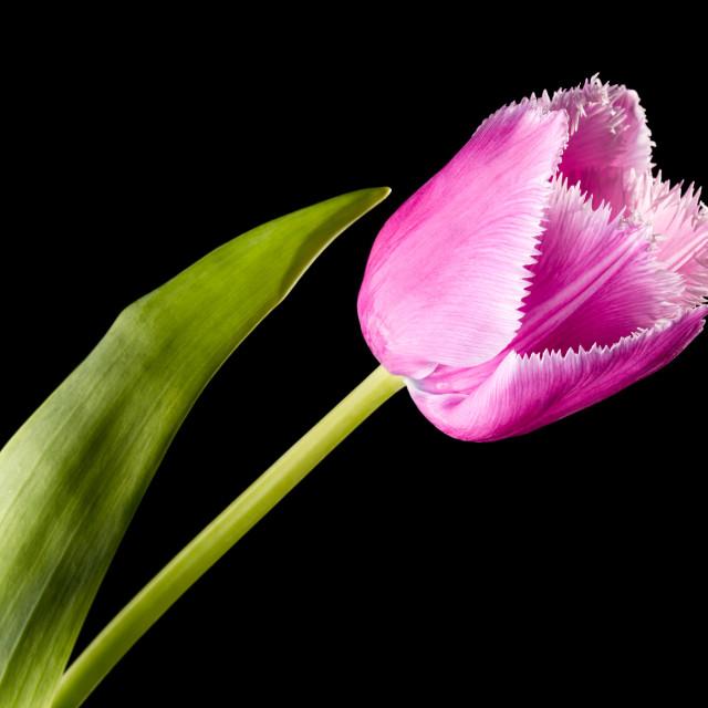 """""""Pink Fringed Tulip on Black Background"""" stock image"""