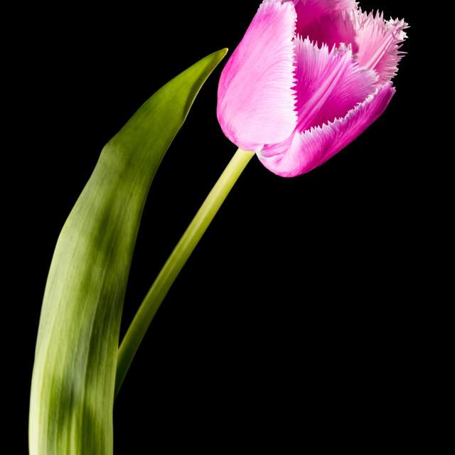 """""""Pink Fringed Tulip"""" stock image"""