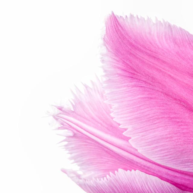 """""""Pink Fringed Tulip on White Background"""" stock image"""