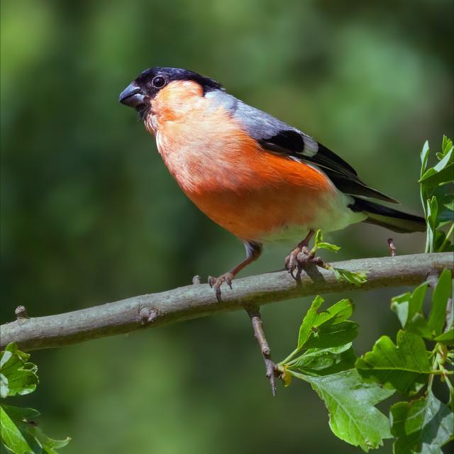 """""""Beautiful Bullfinch"""" stock image"""