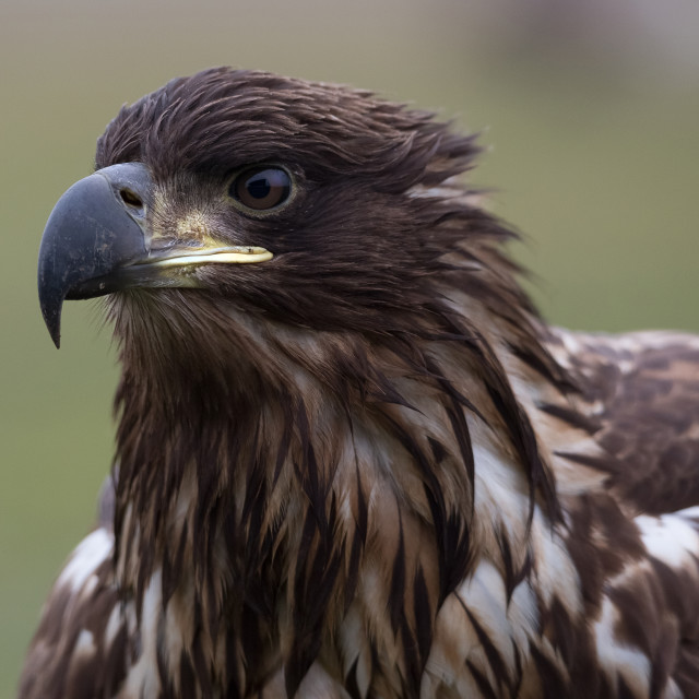 """White-tailed eagle"" stock image"