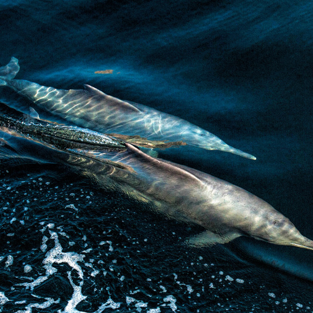 """Dolphin pair"" stock image"