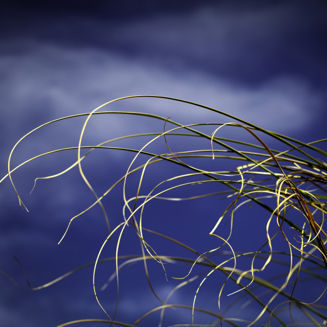 """Pampas Grass"" stock image"
