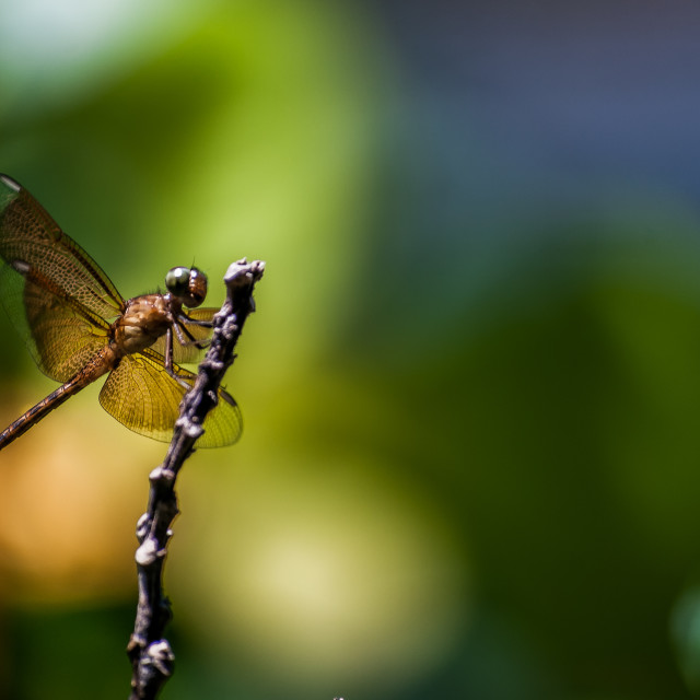 """A dragonfly"" stock image"
