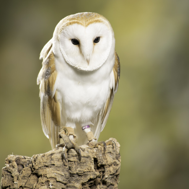 """Stunning Barn owl"" stock image"