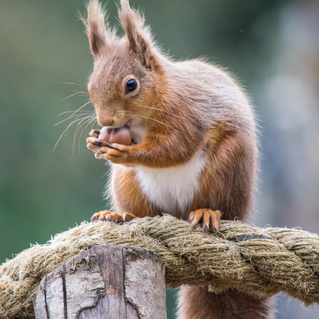 """""""Red Squirrel eating nuts"""" stock image"""