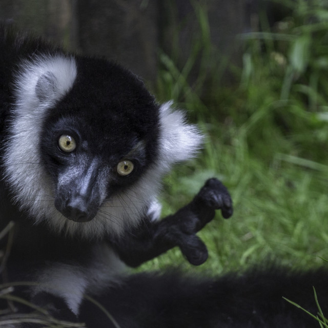 """Lemur at lunchtime"" stock image"
