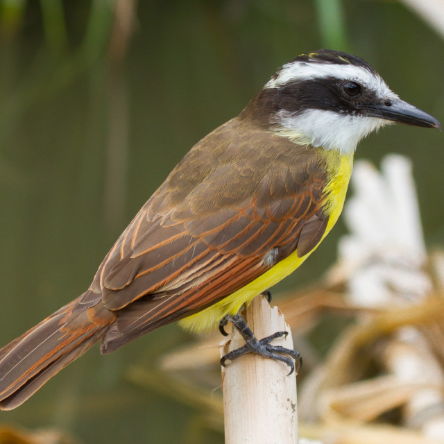 """""""Close-up of a colorful great kiskedee in it's natural habitat"""" stock image"""