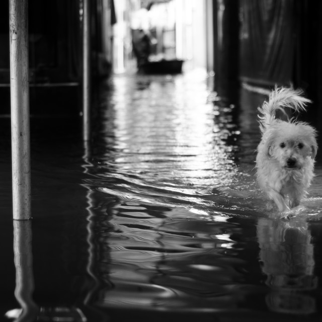 """Lone wet dog wading through flood water"" stock image"