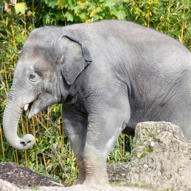 """""""Elephant (elephantidae)"""" stock image"""
