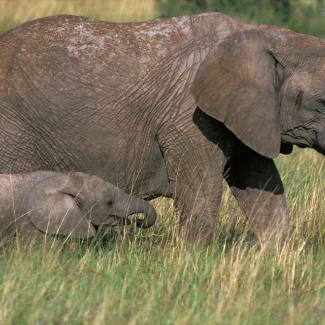 """""""African Elephant, Afrikaanse olifant, Loxodonta africana"""" stock image"""