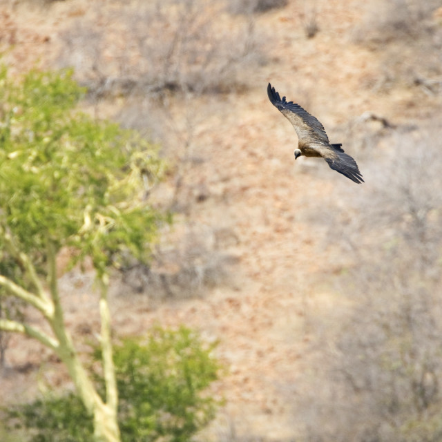 """""""Witruggier, African White-backed Vulture, Gyps africanus"""" stock image"""