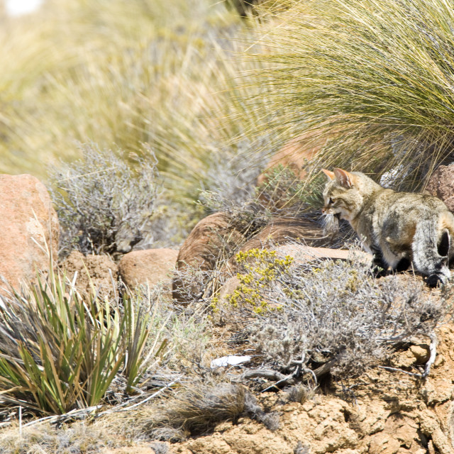 """Afrikaanse Wilde Kat, African Wild Cat, Felis silvestris"" stock image"