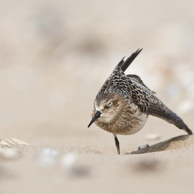 """Bairds Strandloper, Bairds Sandpiper, Calidris bairdii"" stock image"