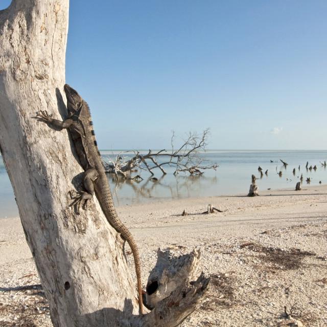 """Zwarte Leguaan, Black Spiny-tailed Iguana, Ctenosaura similis"" stock image"