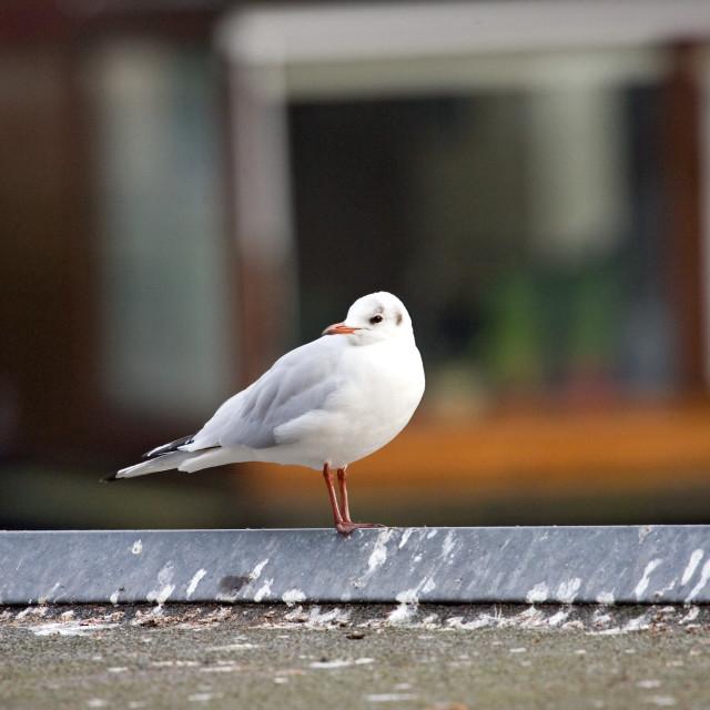 """Black-headed Gull, Kokmeeuw, Larus ridibundus"" stock image"