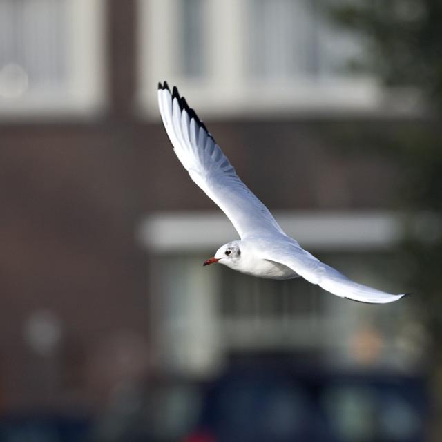 """Kokmeeuw, Black-headed Gull, Larus ridibundus"" stock image"