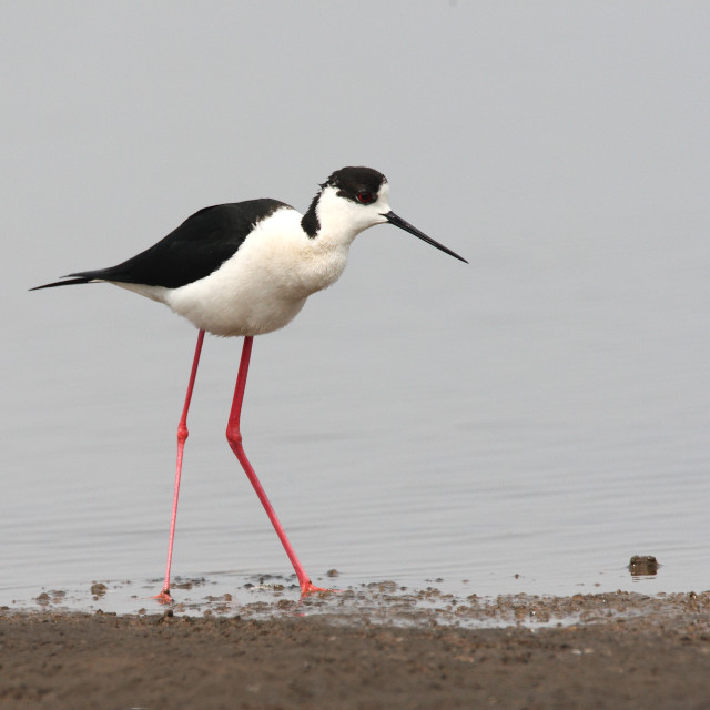 """Black-winged Stilt, Steltkluut, Himantopus himantopus"" stock image"