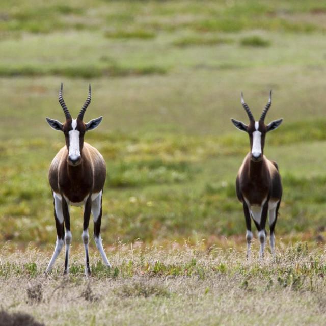 """""""Bontebok, Bontebok, Damaliscus pygargus"""" stock image"""