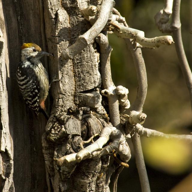"""Bruinvoorhoofdspecht, Brown-fronted Pied Woodpecker, Dendrocopos auriceps"" stock image"