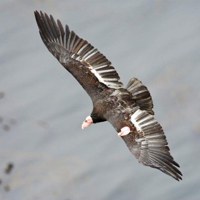 """Californische Condor; Californian Condor; Gymnogyps californianu"" stock image"