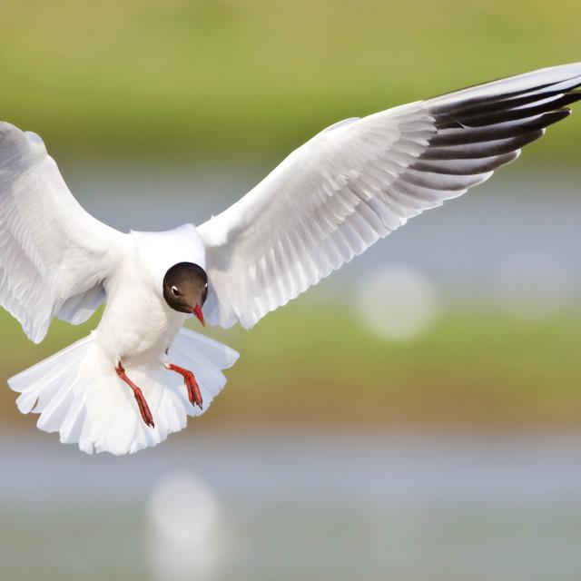 """Kokmeeuw, Black-headed Gull, Chroicocephalus ridibundus"" stock image"