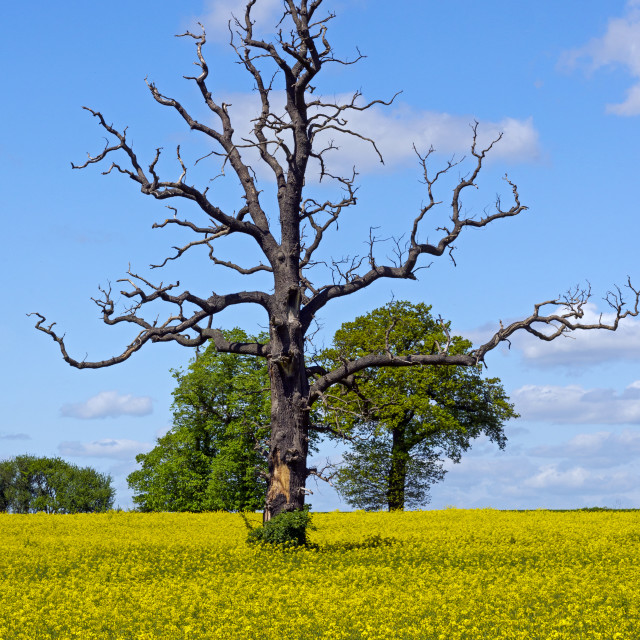 """""""Bare Tree in Rapeseed Field"""" stock image"""