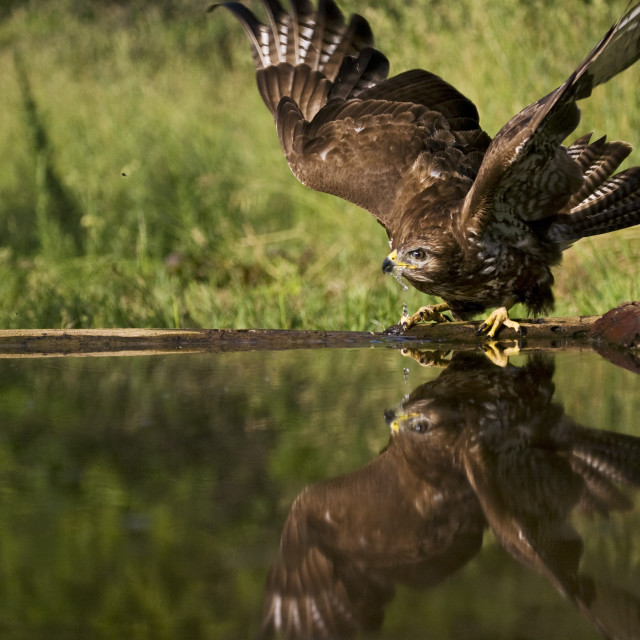 """Buizerd, Common Buzzard, Buteo buteo"" stock image"