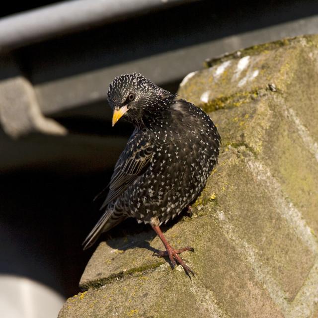 """Spreeuw, Common Starling, Sturnus vulgaris"" stock image"