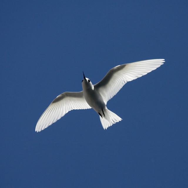 """Witte Stern, Common White Tern, Gygis alba"" stock image"