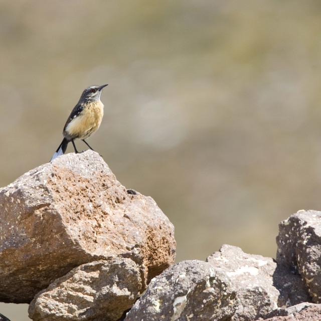 """Roodborstrotsspringer, Orange-breasted Rock-Jumper, Chaetops aurantius"" stock image"