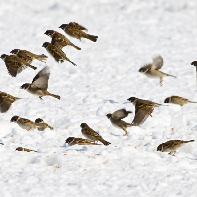 """""""Ringmus, Eurasian Tree Sparrow, Passer montanus"""" stock image"""