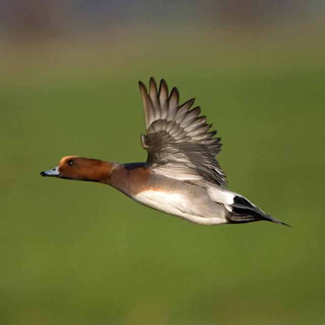 """Eurasian Wigeon, Smient, Anas penelope"" stock image"