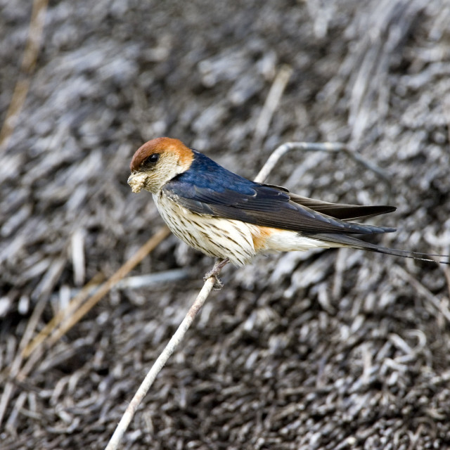 """Kaapse Zwaluw, Greater Striped Swallow, Cecropis cucullata"" stock image"