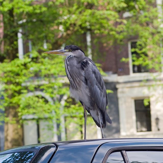 """""""Grey Heron, Blauwe Reiger, Ardea cinerea"""" stock image"""