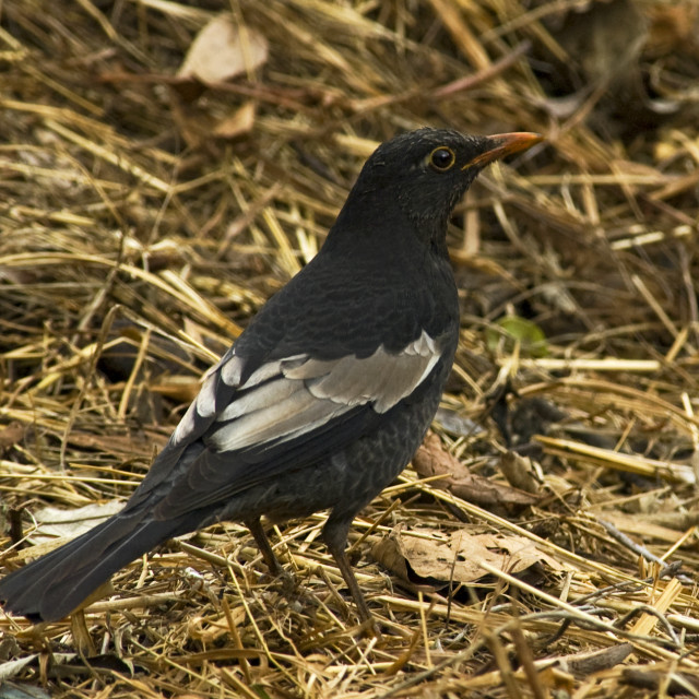 """Grijsvleugelmerel, Grey-winged Blackbird, Turdus boulboul"" stock image"