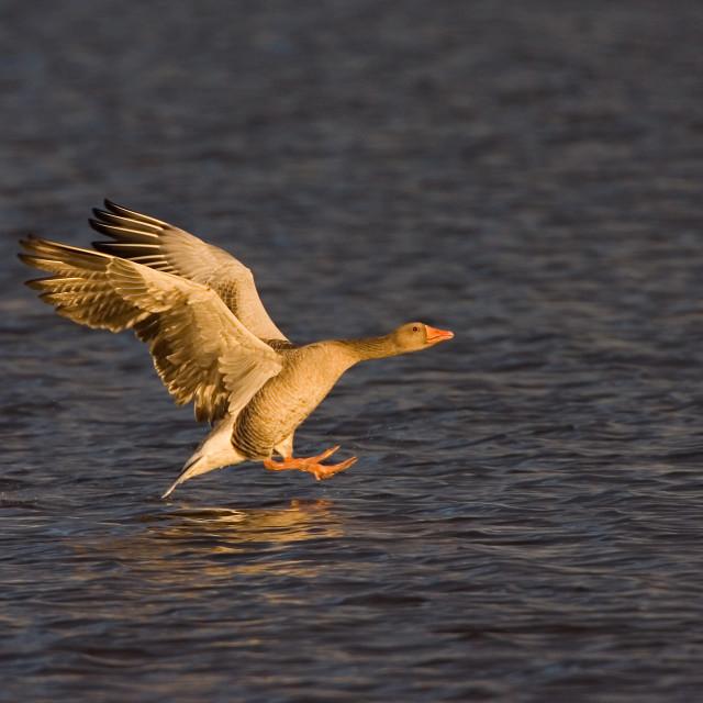 """""""Greylag Goose, Grauwe Gans, Anser anser"""" stock image"""