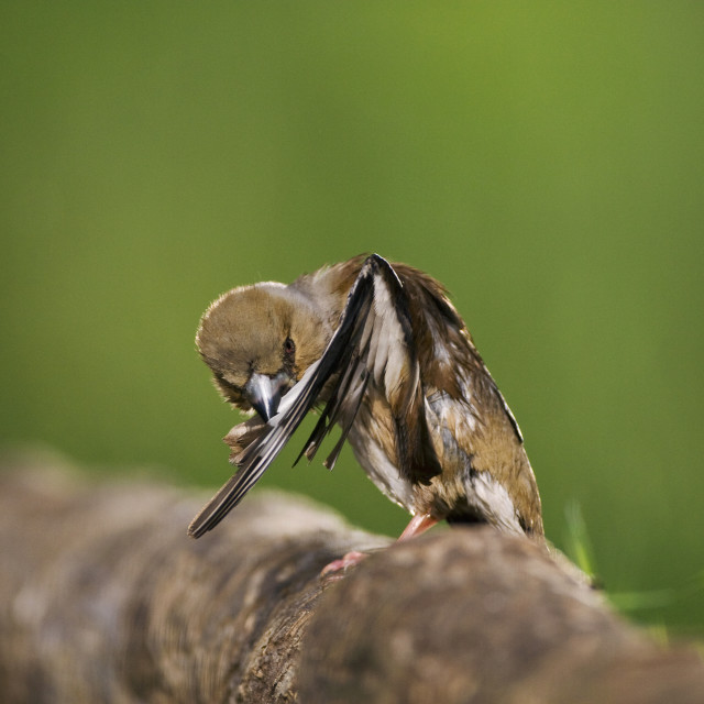 """""""Appelvink, Hawfinch, Coccothraustes coccothraustes"""" stock image"""