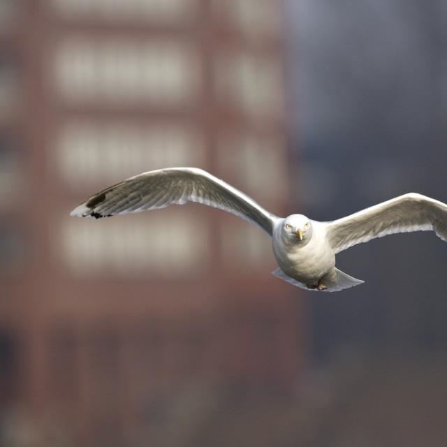 """""""Zilvermeeuw, Herring Gull, Larus argentatus"""" stock image"""