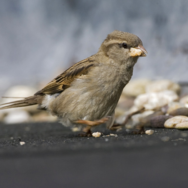 """""""House Sparrow, Huismus, Passer domesticus"""" stock image"""