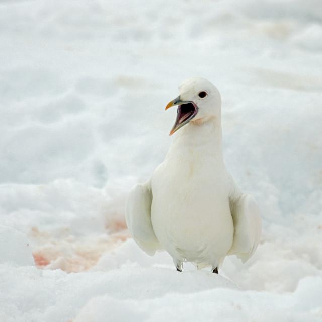 """Ivory Gull, Ivoormeeuw, Pagophila eburnea"" stock image"