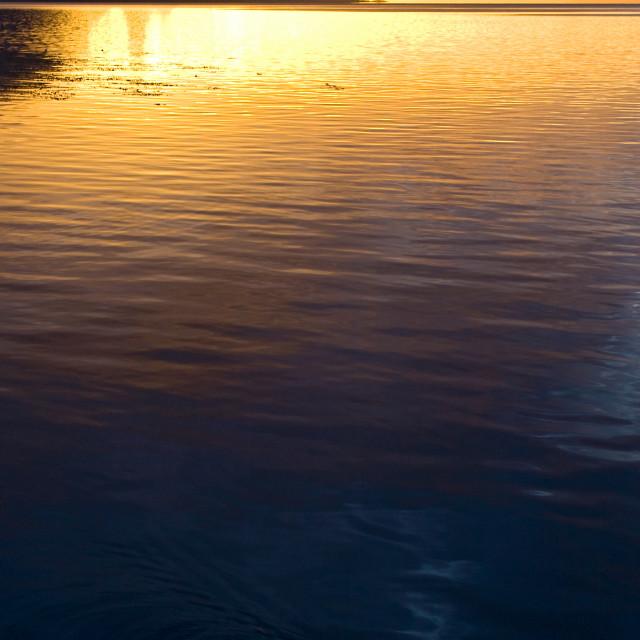 """Kelpgans, Kelp Goose, Chloephaga hybrida"" stock image"