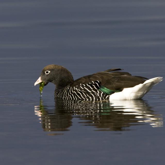 """Kelp Goose, Kelpgans, Chloephaga hybrida"" stock image"