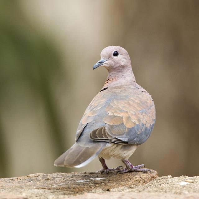 """Palmtortel, Laughing Dove, Streptopelia senegalensis"" stock image"