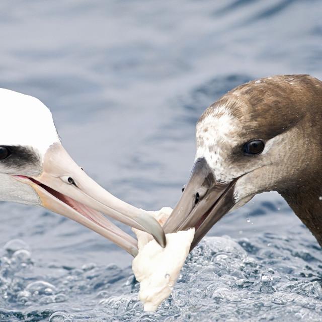 """Black-footed & Laysan Albatross"" stock image"