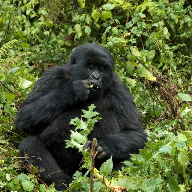 """Mountain Gorilla, berggorilla, Gorilla beringei"" stock image"