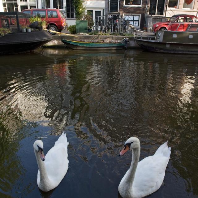 """Knobbelzwaan, Mute Swan, Cygnus olor"" stock image"