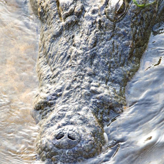 """""""Nijlkrokodil, Nile Crocodile, Crocodylus niloticus"""" stock image"""