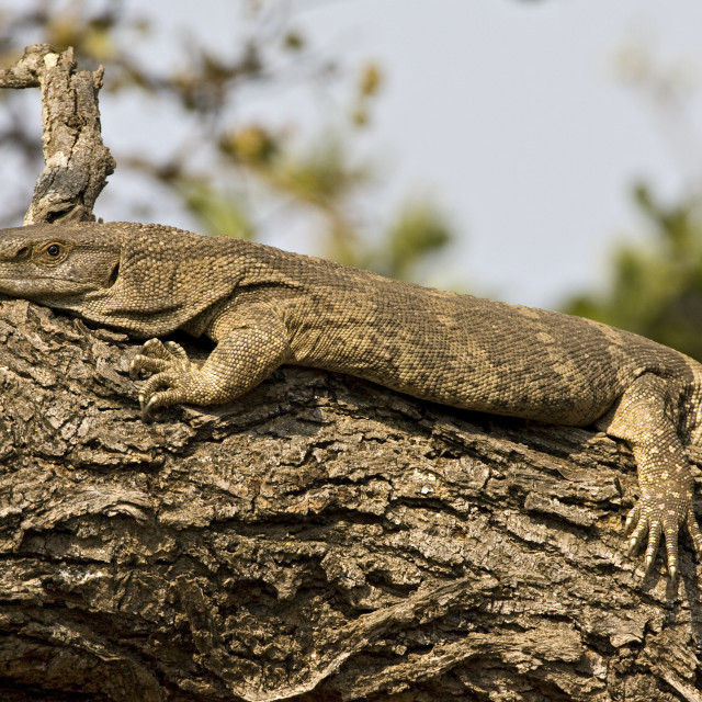 """Nijlvaraan, Nile Monitor, Varanus niloticus"" stock image"